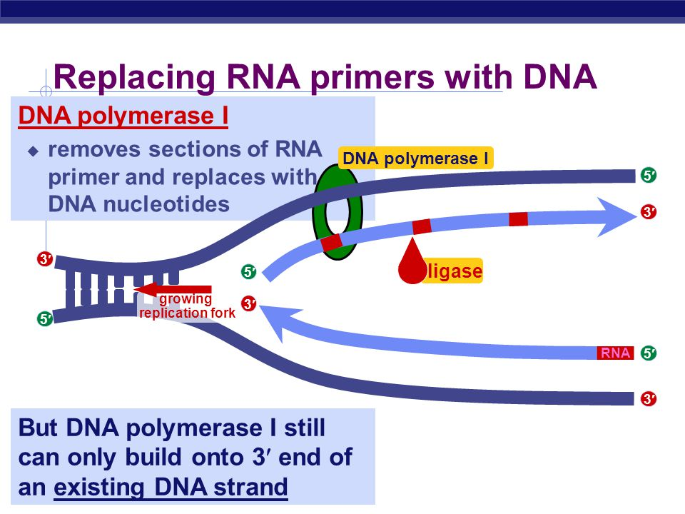 AP Biology DNA polymerase III RNA primer  built by primase  serves as starter sequence for DNA polymerase III Limits of DNA polymerase III  can only build onto 3 end of an existing DNA strand Starting DNA synthesis: RNA primers 5 5 5 3 3 3 5 3 5 3 5 3 growing replication fork primase RNA