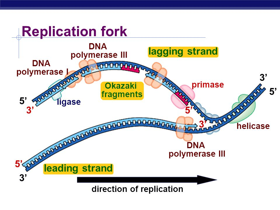 AP Biology DNA polymerase I  removes sections of RNA primer and replaces with DNA nucleotides But DNA polymerase I still can only build onto 3 end of an existing DNA strand Replacing RNA primers with DNA 5 5 5 5 3 3 3 3 growing replication fork DNA polymerase I RNA ligase