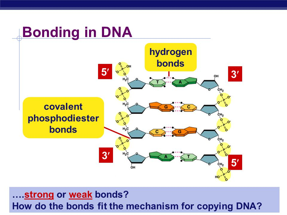AP Biology Anti-parallel strands  Nucleotides in DNA backbone are bonded from phosphate to sugar between 3 & 5 carbons  DNA molecule has direction  complementary strand runs in opposite direction 3 5 5 3
