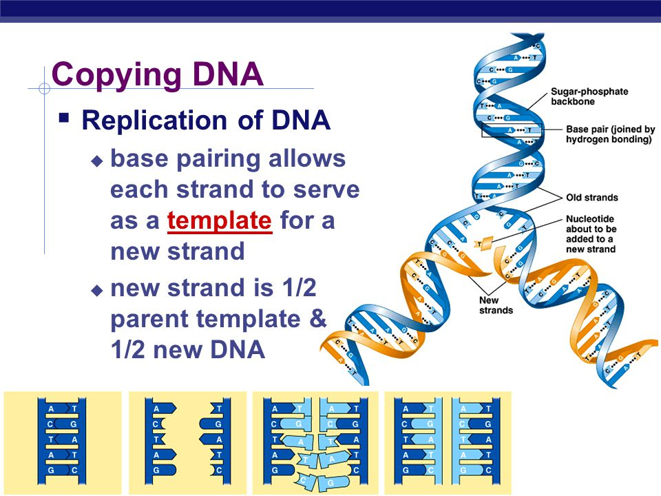AP Biology Base pairing in DNA  Purines  adenine (A)  guanine (G)  Pyrimidines  thymine (T)  cytosine (C)  Pairing  A : T  2 bonds  C : G  3 bonds