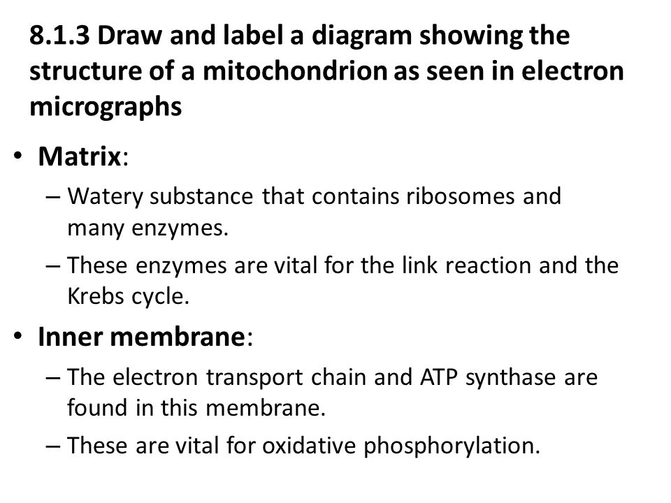 8.1.3 Draw and label a diagram showing the structure of a mitochondrion as seen in electron micrographs Matrix: – Watery substance that contains ribosomes and many enzymes.