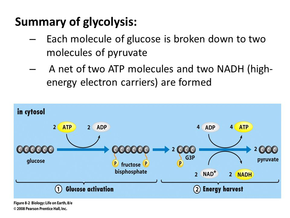 Summary of glycolysis: – Each molecule of glucose is broken down to two molecules of pyruvate – A net of two ATP molecules and two NADH (high- energy electron carriers) are formed