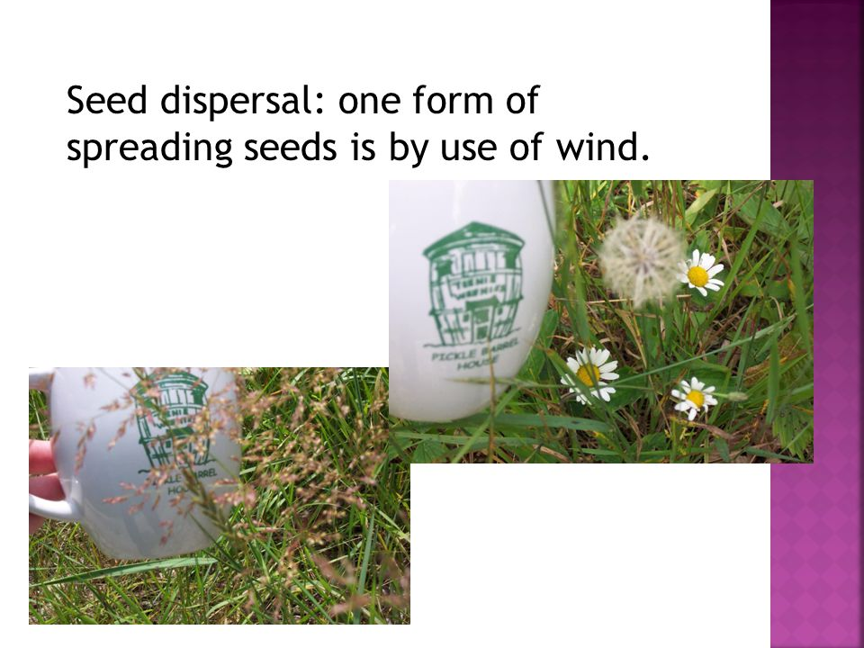 Seed dispersal: one form of spreading seeds is by use of wind.