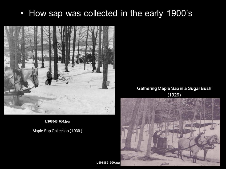 How sap was collected in the early 1900's LS08848_000.jpg Maple Sap Collection ( 1939 ) Gathering Maple Sap in a Sugar Bush (1929) LS01886_000.jpg