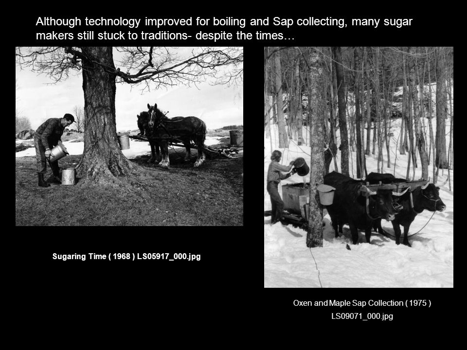 Although technology improved for boiling and Sap collecting, many sugar makers still stuck to traditions- despite the times… Sugaring Time ( 1968 ) LS05917_000.jpg Oxen and Maple Sap Collection ( 1975 ) LS09071_000.jpg