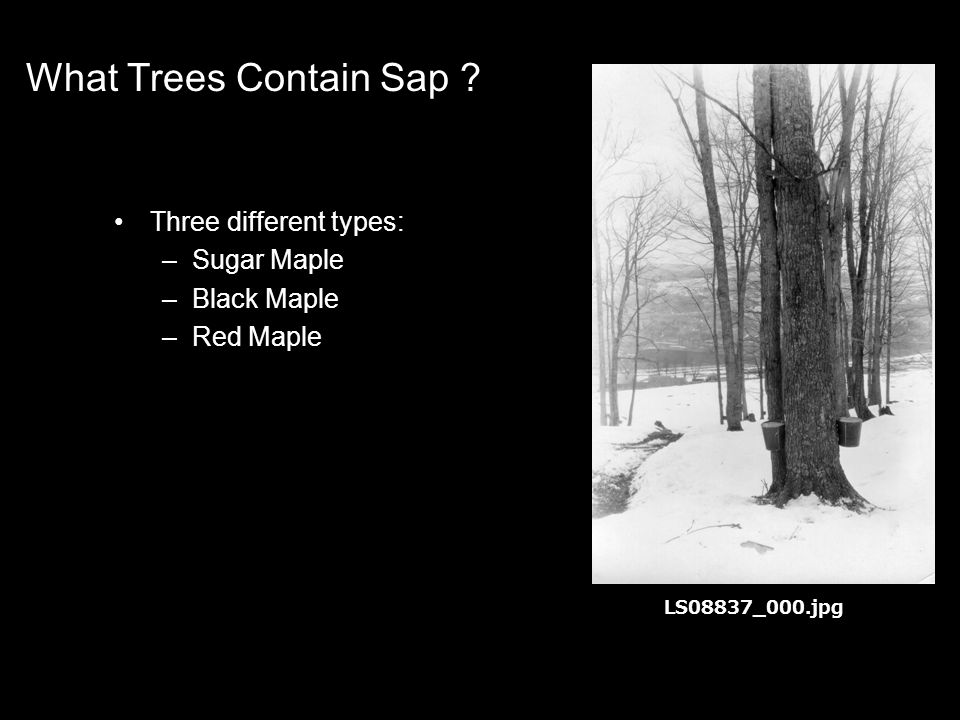What Trees Contain Sap .
