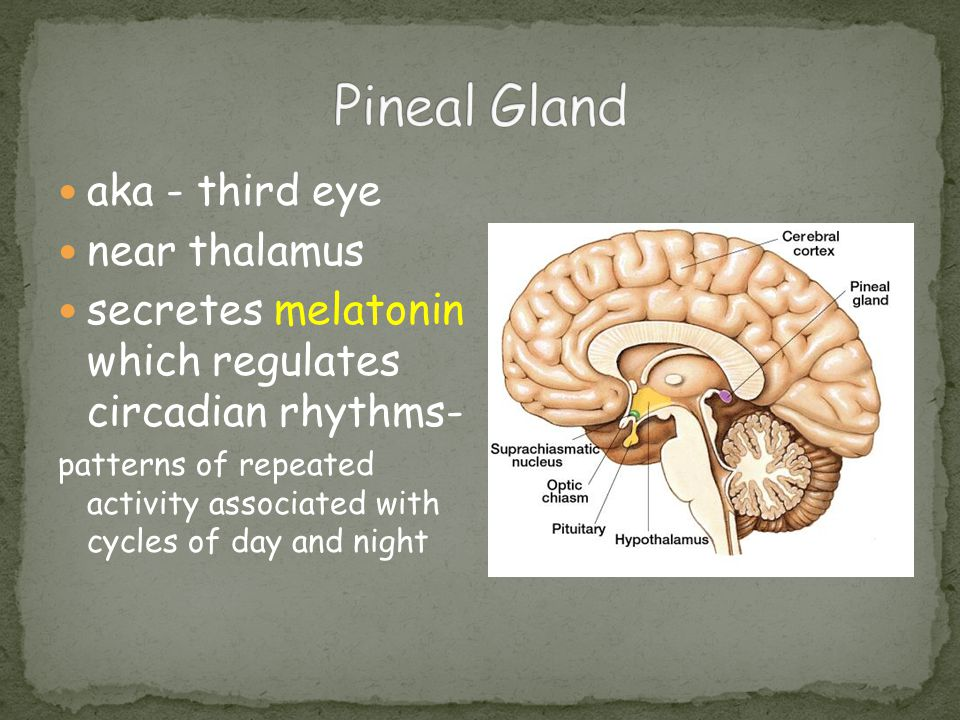aka - third eye near thalamus secretes melatonin which regulates circadian rhythms- patterns of repeated activity associated with cycles of day and ni