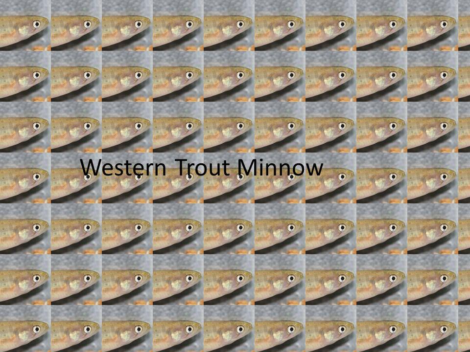 Western Trout Minnow