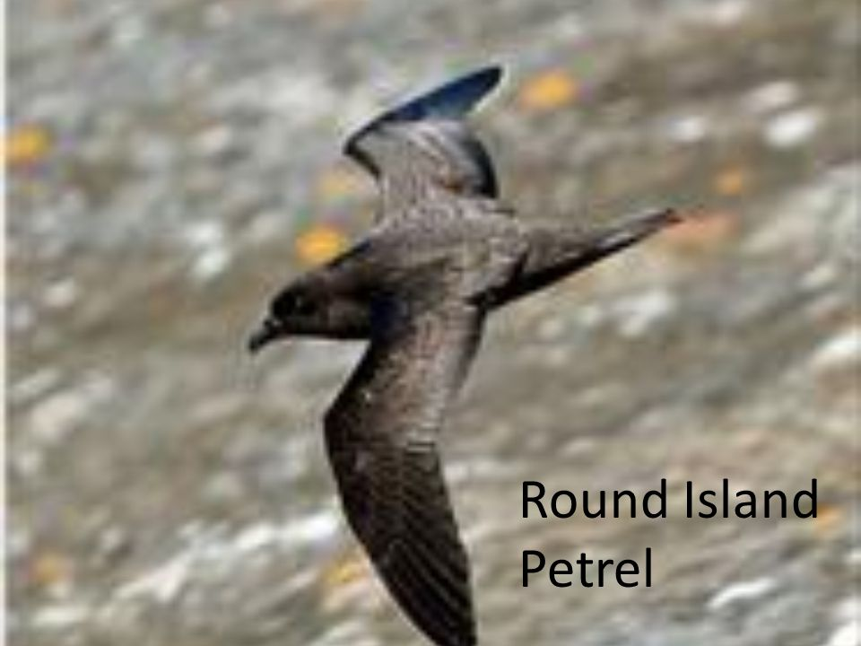 Round Island Petrel