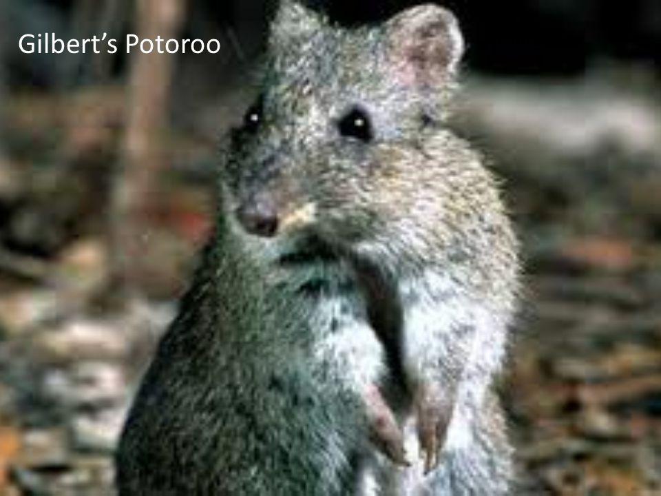 Gilbert's Potoroo