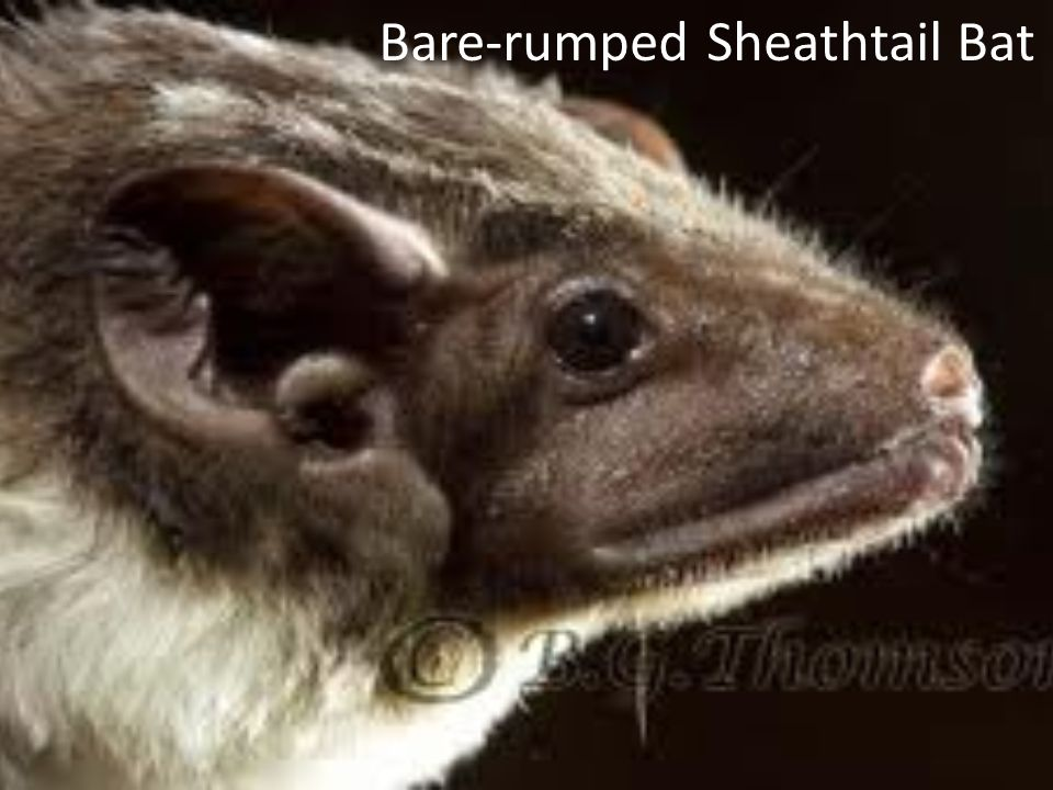 Bare-rumped Sheathtail Bat