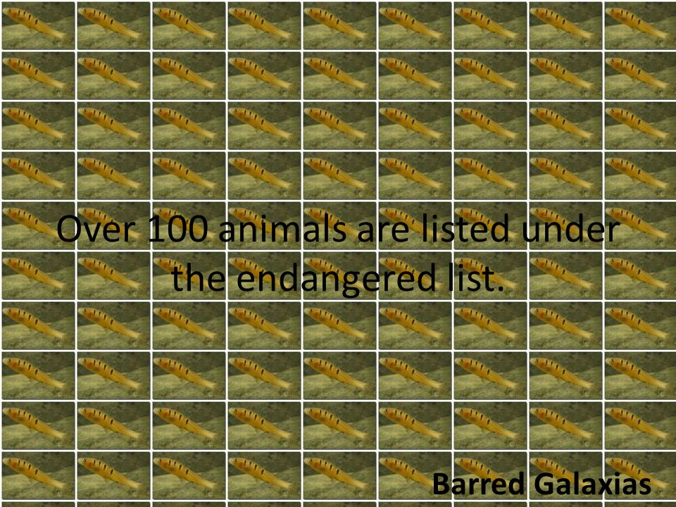 Over 100 animals are listed under the endangered list. Barred Galaxias