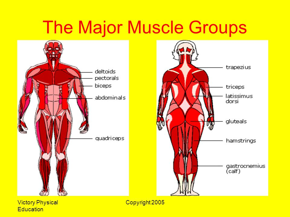 Victory Physical Education Copyright 2005 The Major Muscle Groups