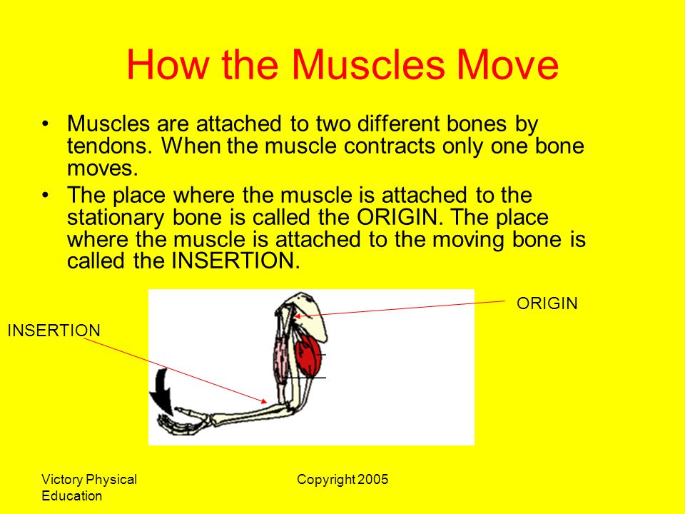 Victory Physical Education Copyright 2005 How the Muscles Move Muscles are attached to two different bones by tendons. When the muscle contracts only