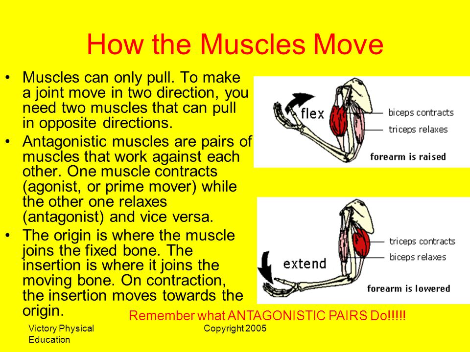 Victory Physical Education Copyright 2005 How the Muscles Move Muscles can only pull. To make a joint move in two direction, you need two muscles that