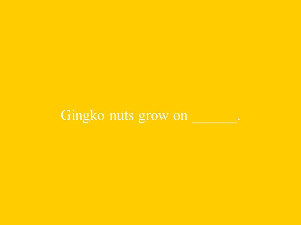 Gingko nuts grow on ______.