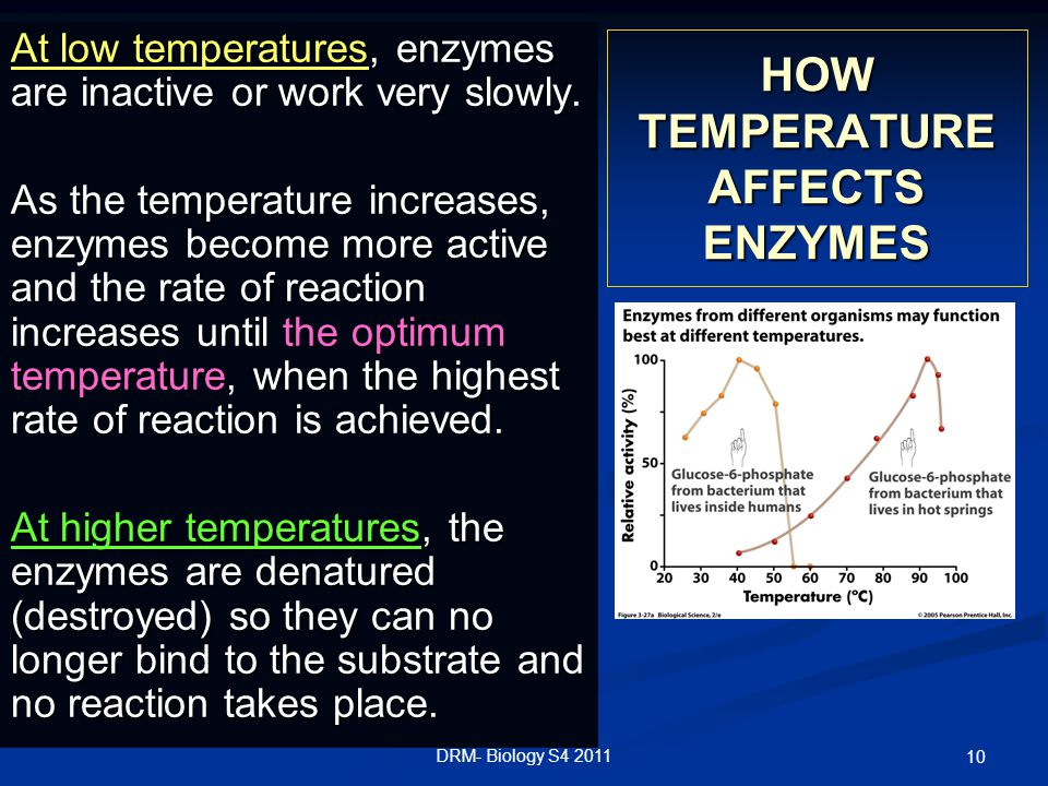 DRM- Biology S4 2011 10 HOW TEMPERATURE AFFECTS ENZYMES At low temperatures, enzymes are inactive or work very slowly.