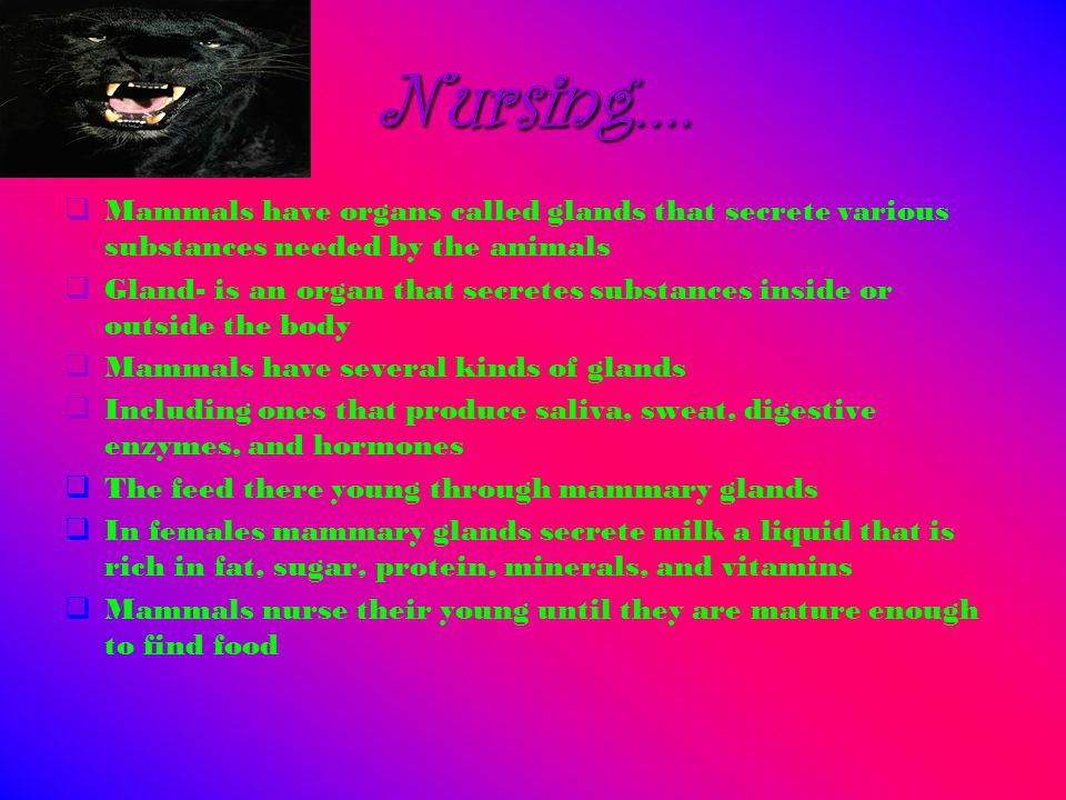 Nursing….  Mammals have organs called glands that secrete various substances needed by the animals  Gland- is an organ that secretes substances insi