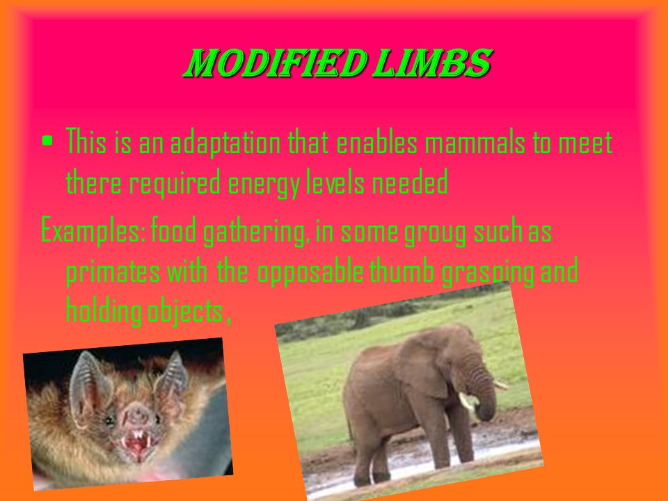 Modified limbs This is an adaptation that enables mammals to meet there required energy levels needed Examples: food gathering, in some groug such as