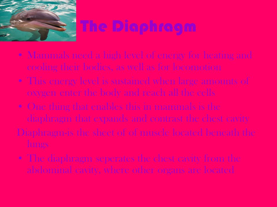 The Diaphragm Mammals need a high level of energy for heating and cooling their bodies, as well as for locomotion This energy level is sustained when
