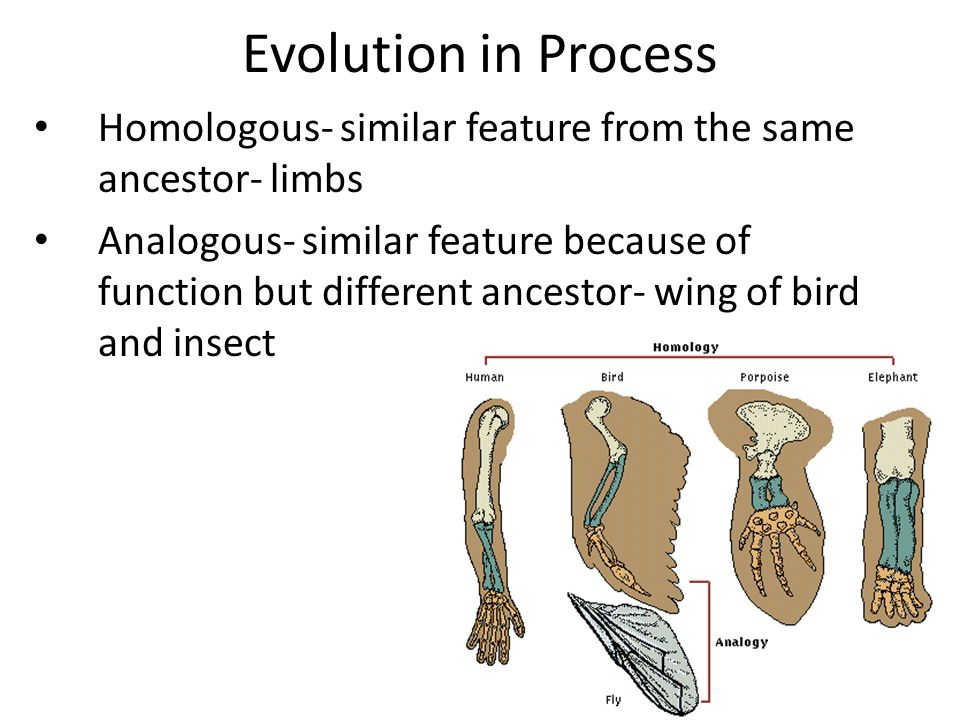 Evolution in Process Homologous- similar feature from the same ancestor- limbs Analogous- similar feature because of function but different ancestor-