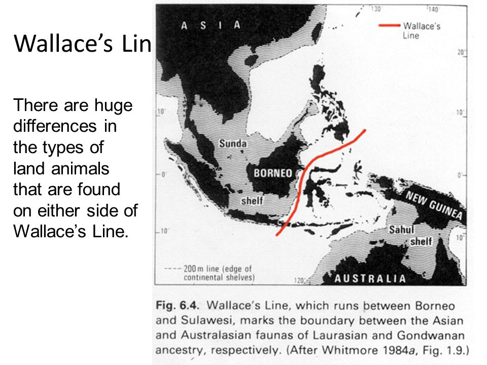 Wallace's Line There are huge differences in the types of land animals that are found on either side of Wallace's Line.