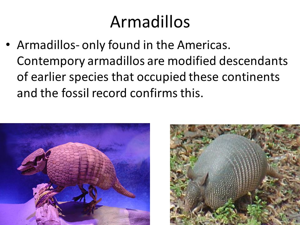 Armadillos Armadillos- only found in the Americas. Contempory armadillos are modified descendants of earlier species that occupied these continents an