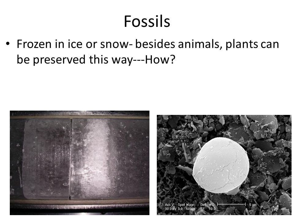 Fossils Frozen in ice or snow- besides animals, plants can be preserved this way---How?