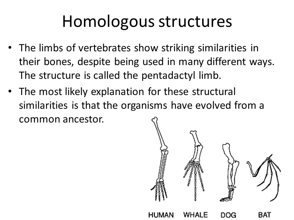 Homologous structures The limbs of vertebrates show striking similarities in their bones, despite being used in many different ways. The structure is