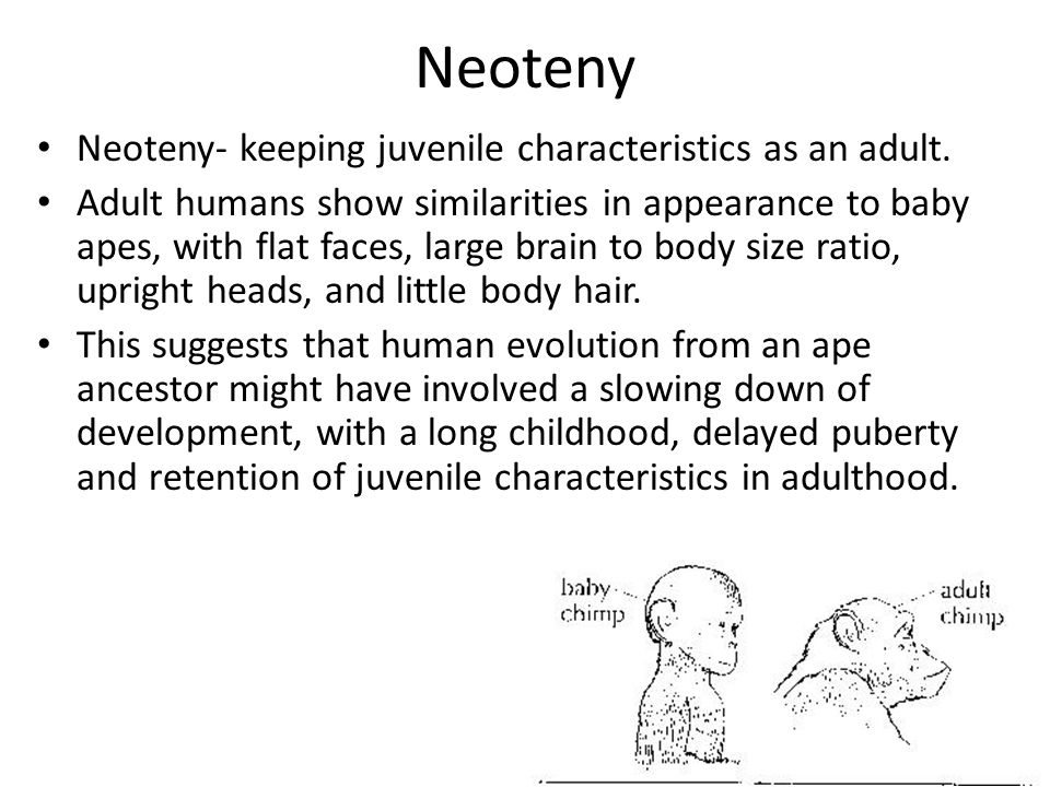 Neoteny Neoteny- keeping juvenile characteristics as an adult. Adult humans show similarities in appearance to baby apes, with flat faces, large brain