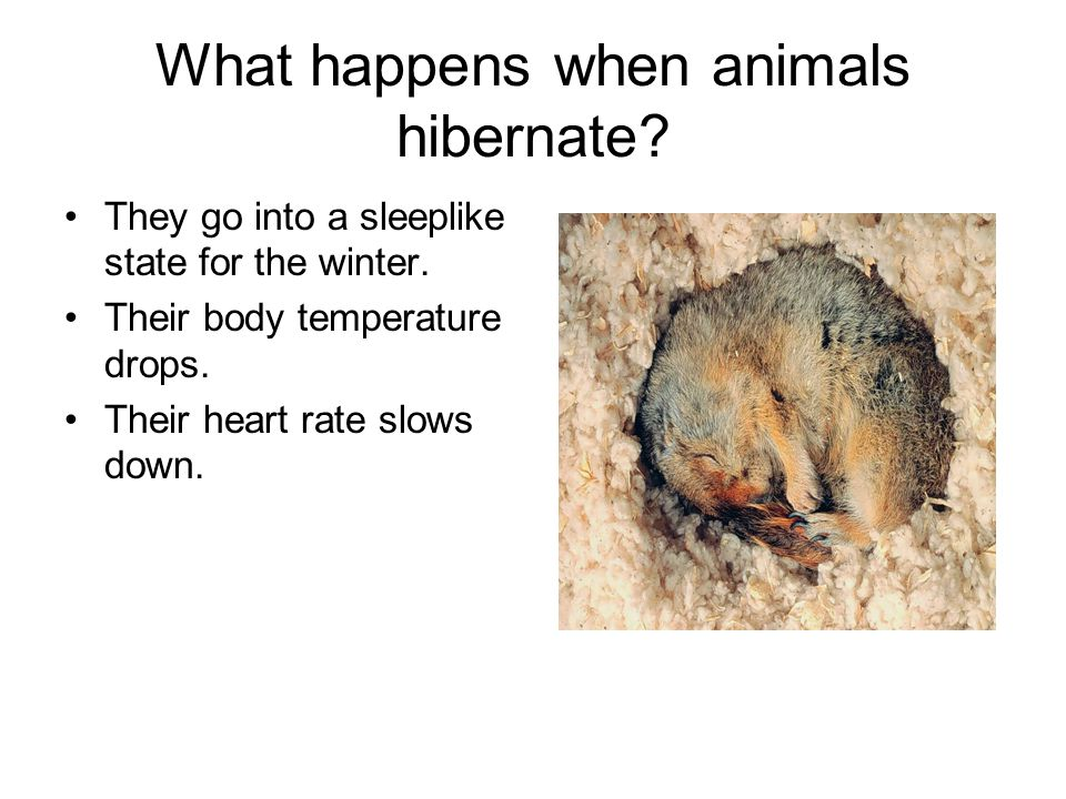 What happens when animals hibernate? They go into a sleeplike state for the winter. Their body temperature drops. Their heart rate slows down.