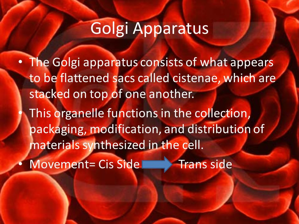 Golgi Apparatus The Golgi apparatus consists of what appears to be flattened sacs called cistenae, which are stacked on top of one another.
