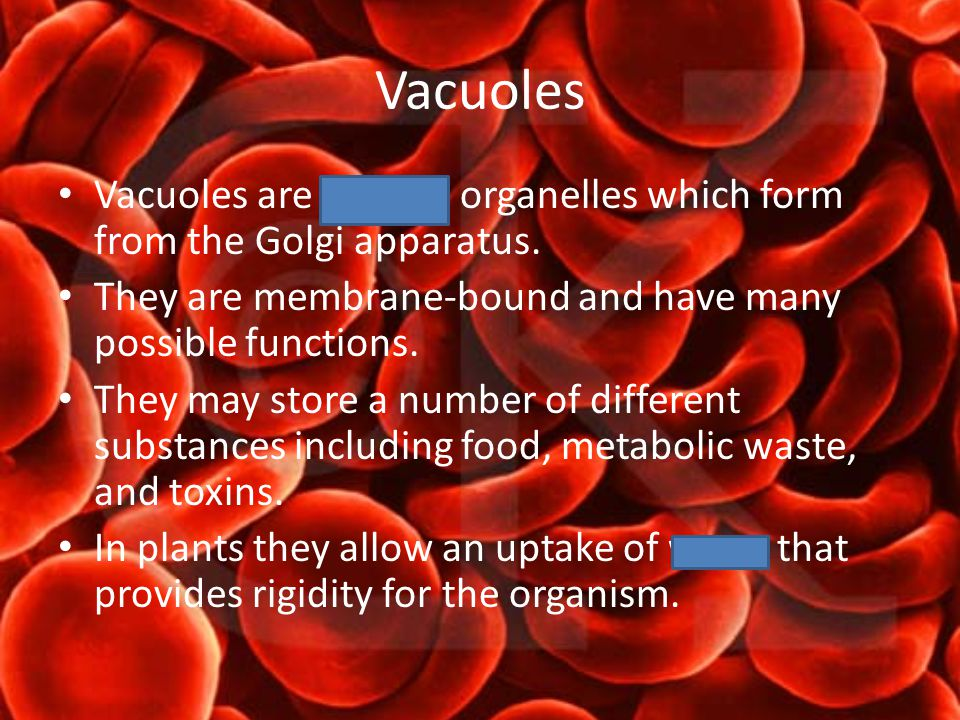 Vacuoles Vacuoles are storage organelles which form from the Golgi apparatus.