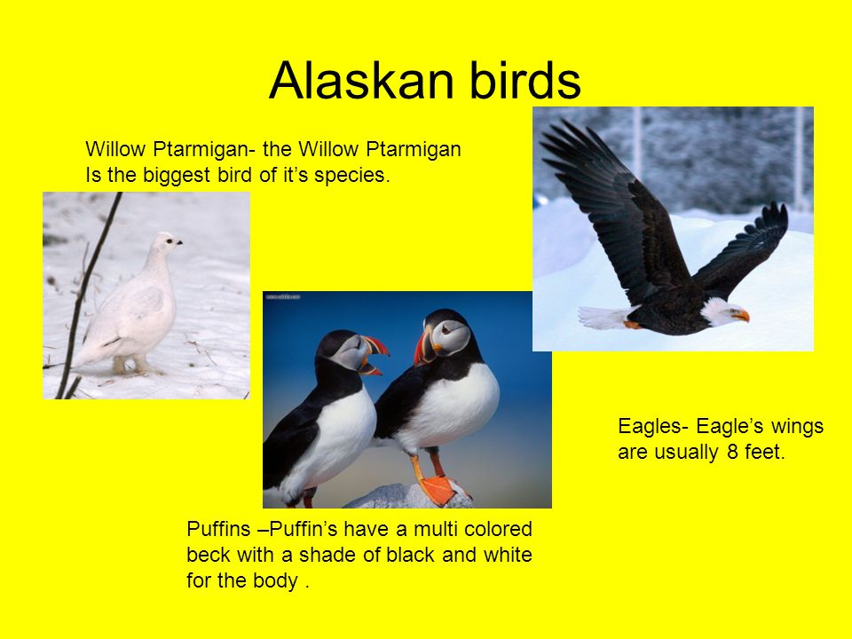 Alaskan birds Puffins –Puffin's have a multi colored beck with a shade of black and white for the body.