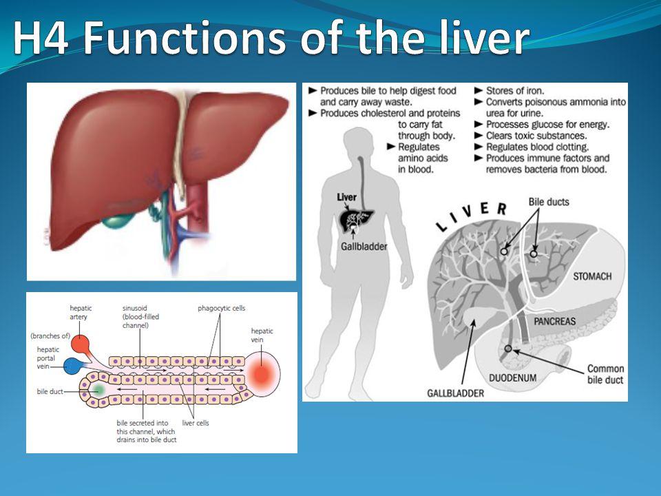 Process of erythrocyte & hemoglobin breakdown in the liver
