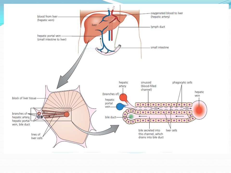 Outline the circulation of blood through liver tissue.