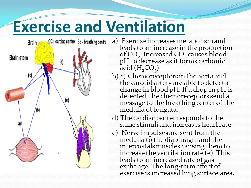 Exercise and Ventilation a) Exercise increases metabolism and leads to an increase in the production of CO 2. Increased CO 2 causes blood pH to decrea