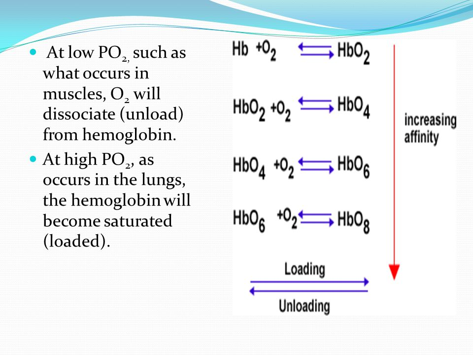 At low PO 2, such as what occurs in muscles, O 2 will dissociate (unload) from hemoglobin.