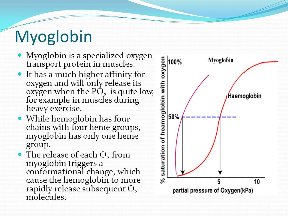 Myoglobin Myoglobin is a specialized oxygen transport protein in muscles. It has a much higher affinity for oxygen and will only release its oxygen wh