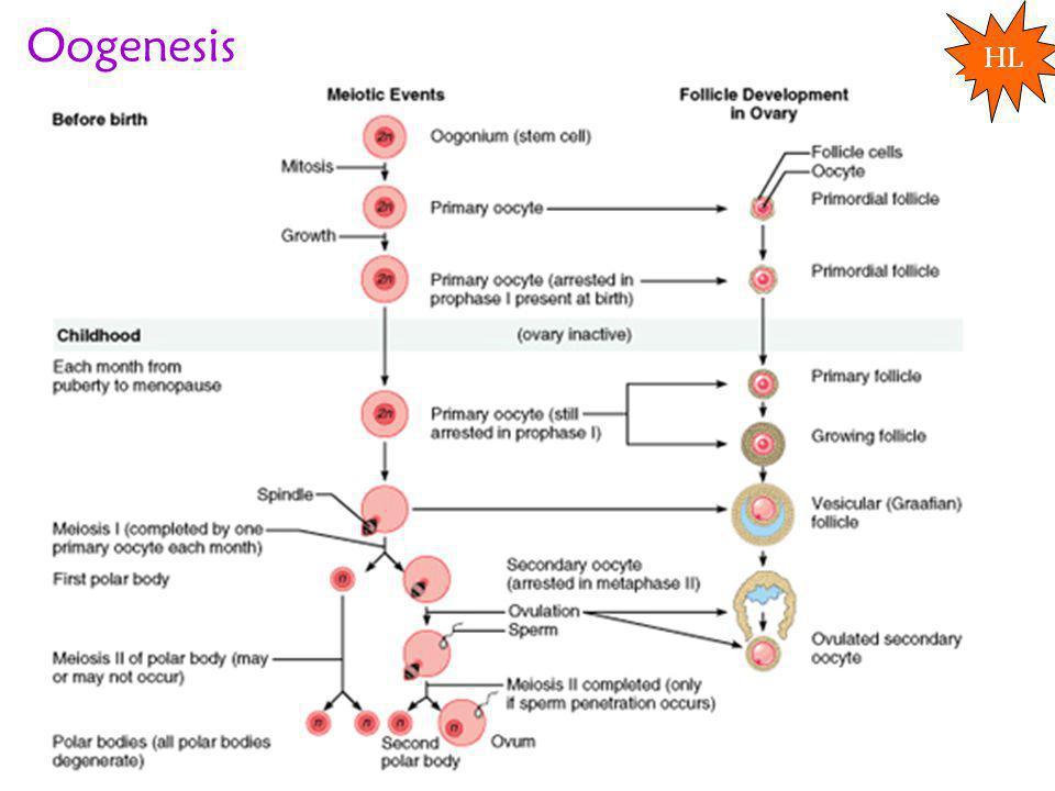 Oogenesis HL
