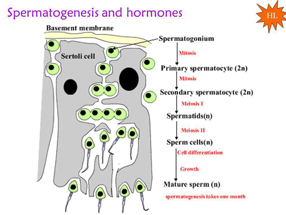 Spermatogenesis and hormones HL