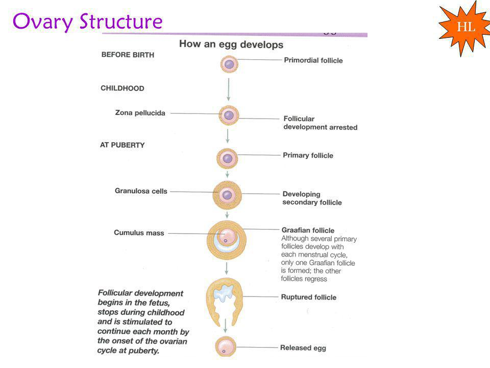 Ovary Structure HL