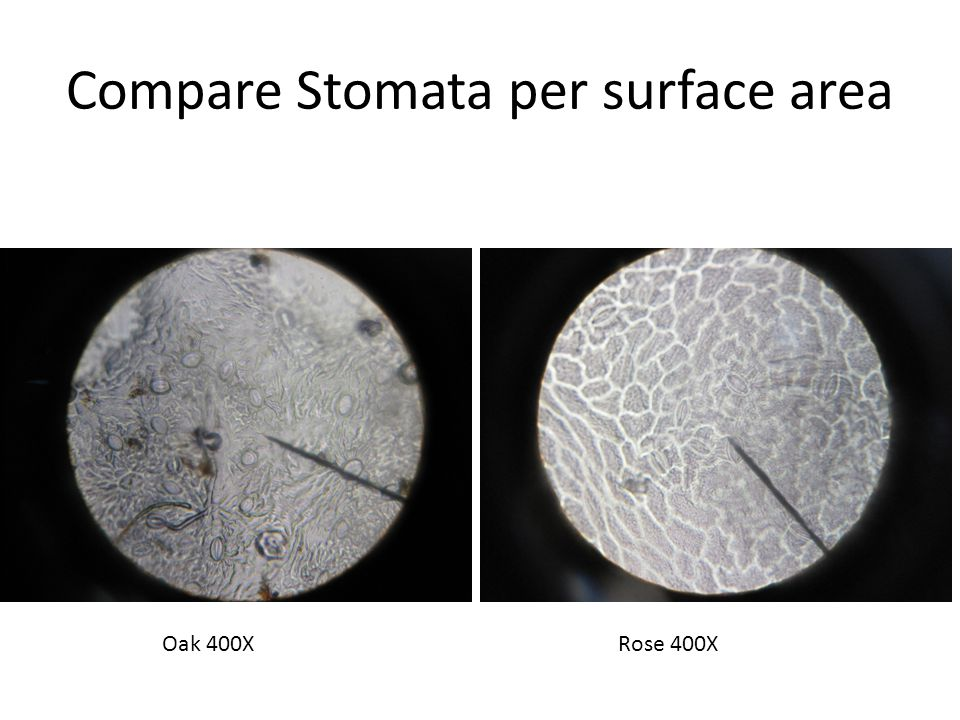 Compare Stomata per surface area Oak 400XRose 400X