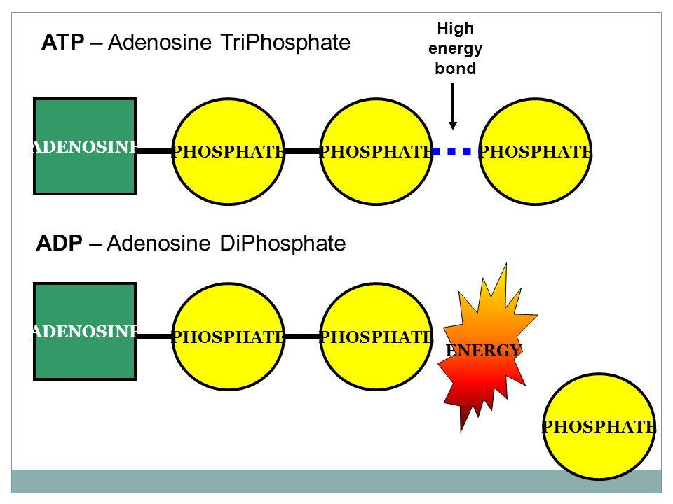 ADENOSINE PHOSPHATE High energy bond ADENOSINE PHOSPHATE ENERGY ATP – Adenosine TriPhosphate ADP – Adenosine DiPhosphate