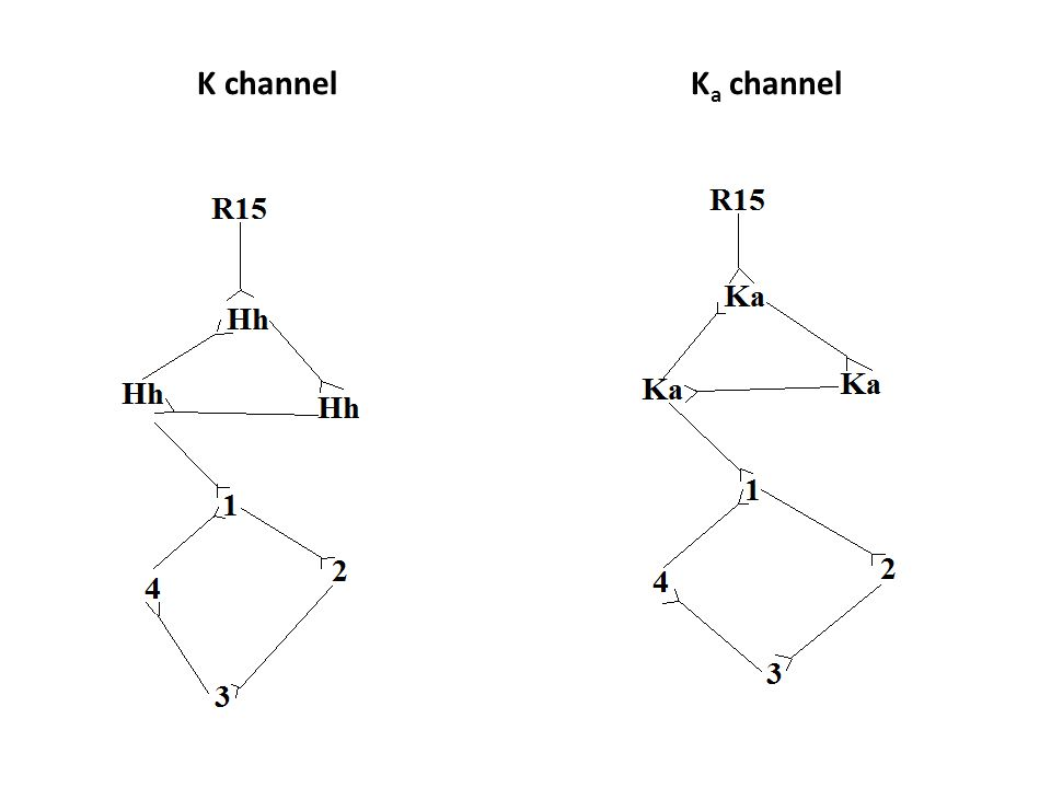 Variables Independent variable: The network that contains the K a current Dependent variable: The output of the K a current Controls: the Hodkin-Huxley model of the neuron Constants: the SNNAP program and the unaltered portions of the neuron/network