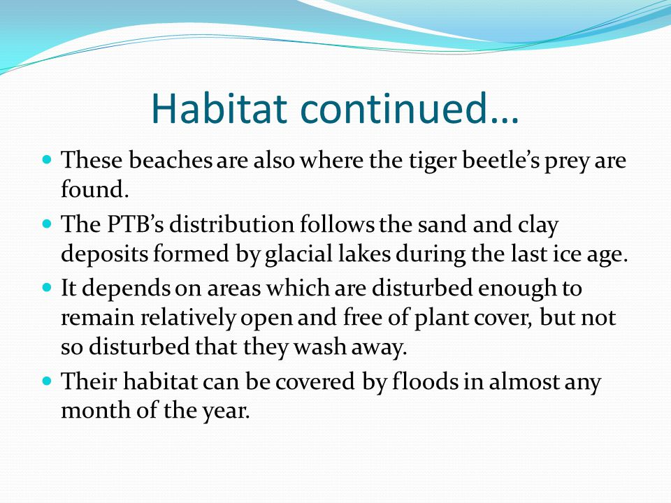 Habitat continued… These beaches are also where the tiger beetle's prey are found.