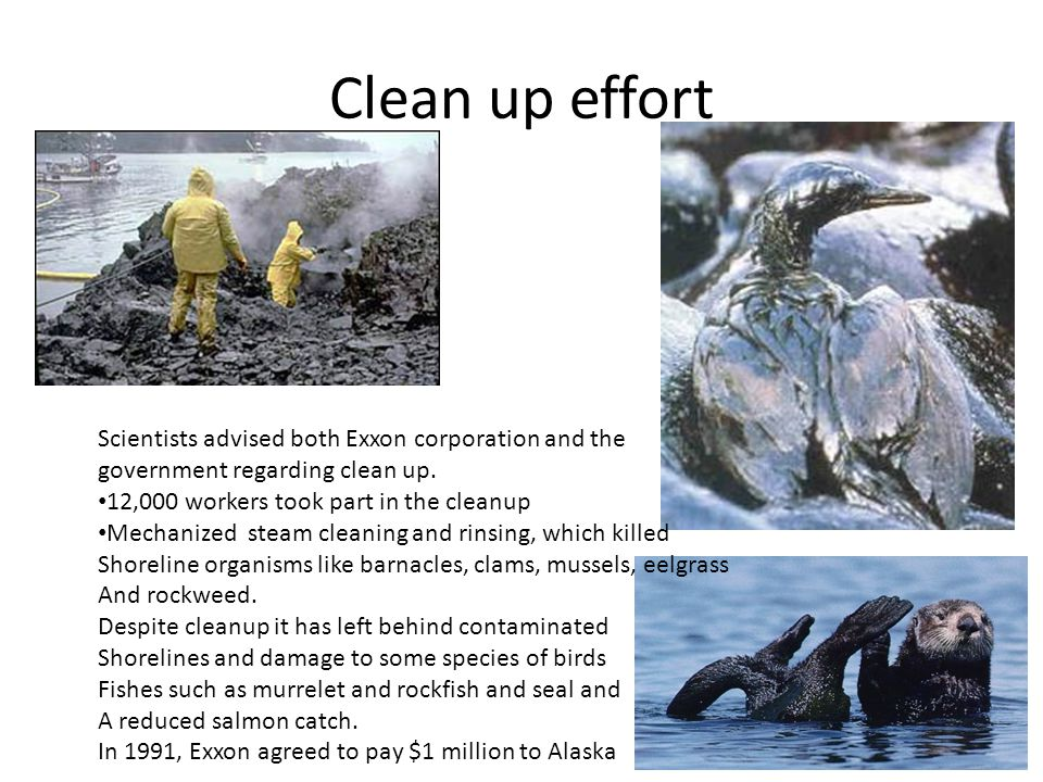 Clean up effort Scientists advised both Exxon corporation and the government regarding clean up. 12,000 workers took part in the cleanup Mechanized st