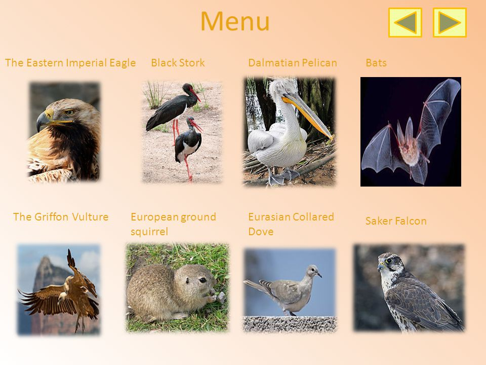 Menu The Eastern Imperial EagleBlack StorkDalmatian PelicanBats The Griffon VultureEuropean ground squirrel Eurasian Collared Dove Saker Falcon