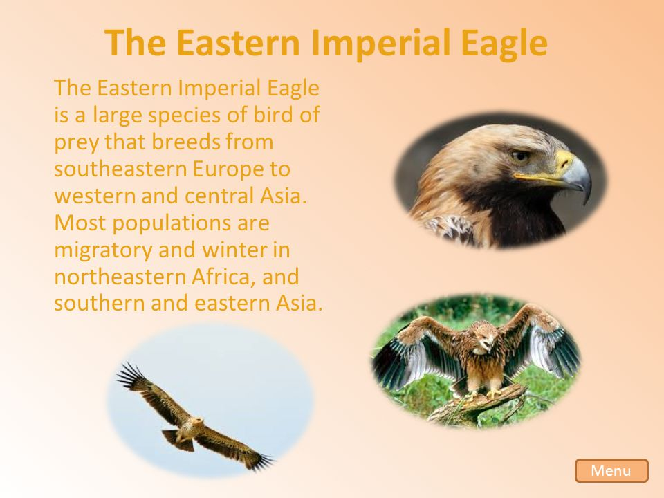 The Eastern Imperial Eagle The Eastern Imperial Eagle is a large species of bird of prey that breeds from southeastern Europe to western and central Asia.