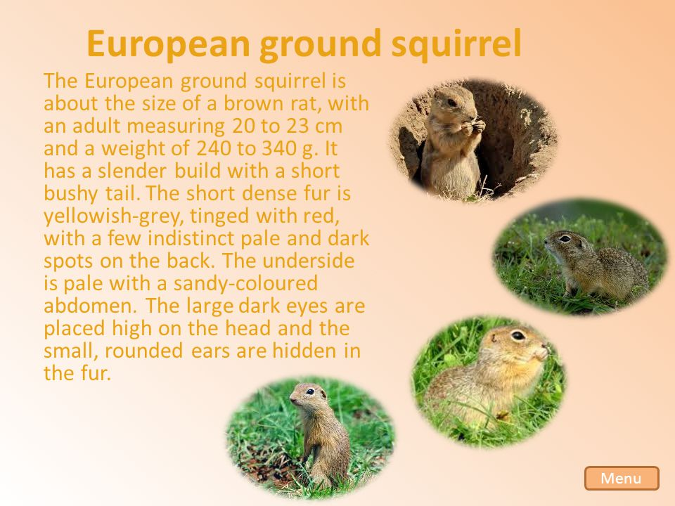 European ground squirrel The European ground squirrel is about the size of a brown rat, with an adult measuring 20 to 23 cm and a weight of 240 to 340 g.